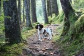 A working english springer spaniel on a woodland trail — Stock Photo