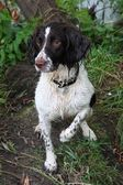 Wet working English Springer Spaniel — Stock Photo