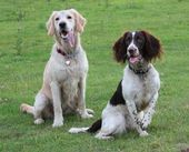 Gundogs sitting together — Foto de Stock