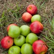 Apples on the grass mowed — Foto de Stock