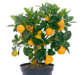 Little tree with oranges — Stock Photo