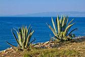 Piante di agave sul mare - aloe — Foto Stock