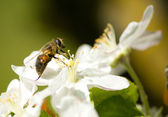 Bee working on the flower — Stock Photo