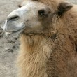 Happy Camel - Stock Photo