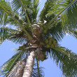 Coconut Palm Tree — 图库照片