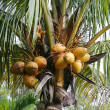 Stock Photo: Coconuts Growing