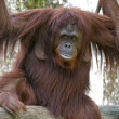 Female Orangutan by Waterfall - Stock Photo
