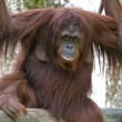 Stock Photo: Female Orangutby Waterfall