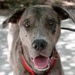 Friendly Catahoula Leopard Dog - 图库照片