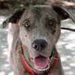 Friendly Catahoula Leopard Dog - Stockfoto