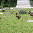 Stock Photo: Graveyard Geese 2