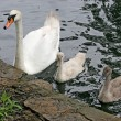 Mother Swan & Babies - Stock Photo