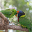 Parrots Grooming Eachother — Stockfoto