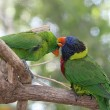 Stock Photo: Parrots Grooming Eachother
