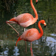 Photogenic Flamingos - Stock Photo