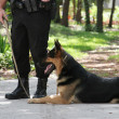 Stock Photo: Police Dog 1