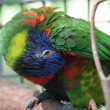 Rainbow Lorikeet Grooming - Stock Photo