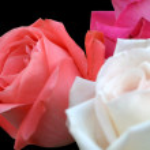 Rose Trio On Black — Stock Photo