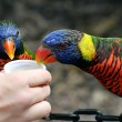 Lorikeet Lunch — Stock Photo