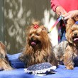 Three Toy Yorkies — Stock Photo