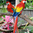 Two Colorful Parrots - Stock Photo