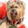 Yorkie Princess with Rose - Stock Photo