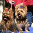 Yorkie Twins - Stock Photo
