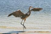 Blue Heron Landing — Stock Photo