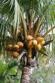 Noci di cocco in crescita — Foto Stock