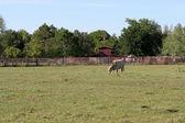 Farm Life Background - Cow — Stock Photo