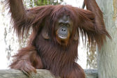 Female Orangutan by Waterfall — Stock Photo