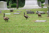 Graveyard Geese 2 — Stock Photo