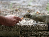 Hand Fed Squirrel — Stockfoto