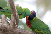Lorikeets In Love — Stock Photo