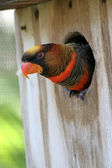 Orange & Black Lorikeet — Stock Photo