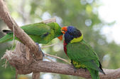Parrots Grooming Eachother — Stock Photo