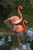 Photogenic Flamingos — Stock Photo