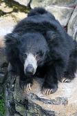 Sloth bear — Stok fotoğraf