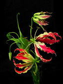 Gloriosa Superba — Stock Photo