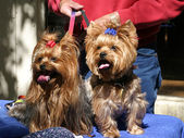 Yorkie Twins — Stock Photo
