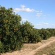 Florida Orange Crop 1 - Stock Photo