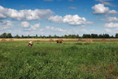коровы пасутся на зеленой лужайке. — Стоковое фото