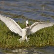 Stock Photo: Little egret