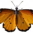 Plain tiger butterfly — Stock Photo