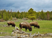Mountain valley with bisons and forest — Stock Photo