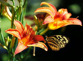 Butterfly on a lily flower — Stock Photo