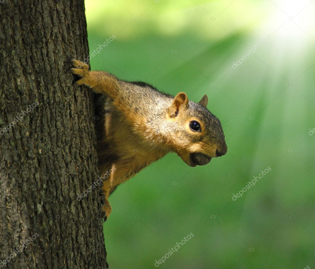 Fox squirrel on a tree with a hazelnut  — Stock Photo #6498918