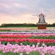 Tulips field - Stock Photo