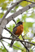 Robin bird — Stock Photo