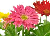 Gerbera daisy — Photo